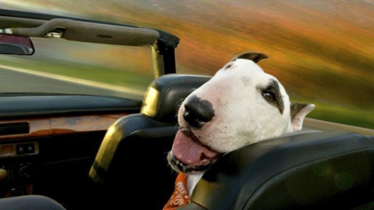 Kutyák, amik imádnak autózni