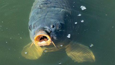 Vége a ponty fogási tilalmának, reszkethetnek a bajszos halak