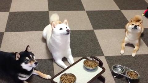 Ezeknél a shiba inuknál udvariasabb kutyákat még nem láttál – videó