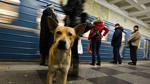 Mit keresnek a szatyros kutyák a metrón?
