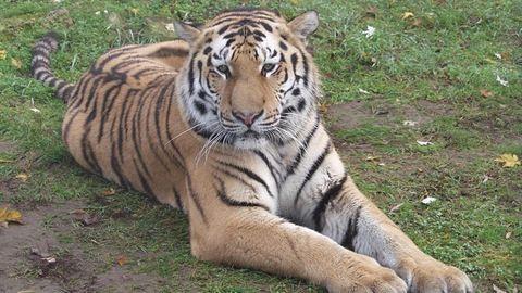 Szibériai tigris született Debrecenben