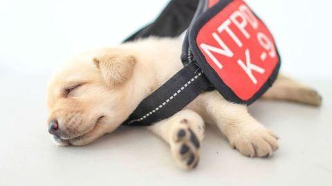 Elolvad a szív a tajvani rendőrség legkisebb bombakereső kutyáitól