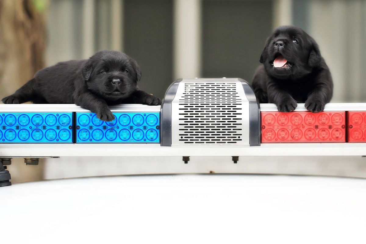 Elolvad a szív a tajvani rendőrség legkisebb bombakereső-kutyáitól