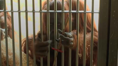 Már az orangutánok is rákattantak a fidget spinnerre – videó