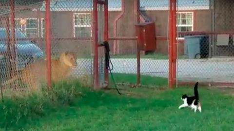 Párbajra hívná az oroszlánt a merész házi macska – videó