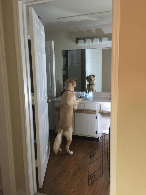 Ilyen, amikor a kutyák teljesen elfelejtik, hogyan kell kutyának lenni