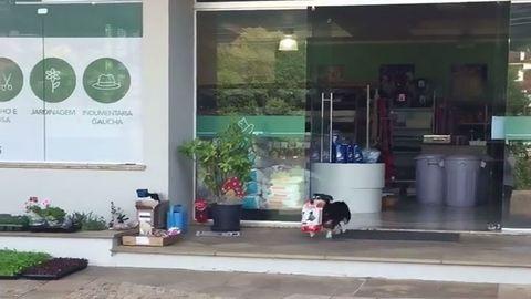Mindennap egyedül jár bevásárolni a kutya