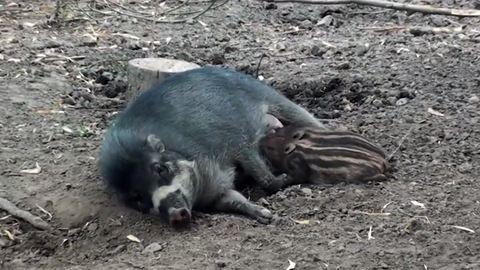 Ilyen cukik a fővárosi állatkertben lakó cebui malackák – videó