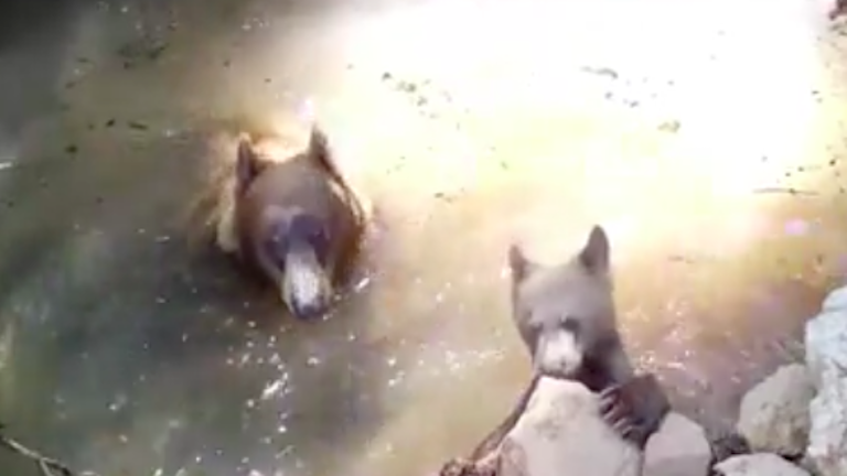 Cukiság a kánikulában: így hűsöl az erdő közepén a medvebocs és mamája