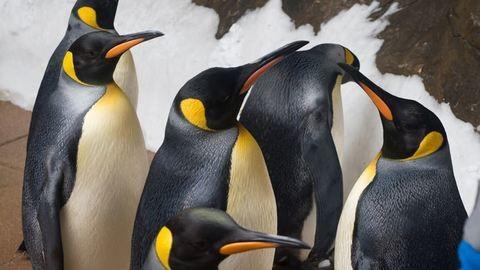 Így élnek a sivatagi pingvinek – videó