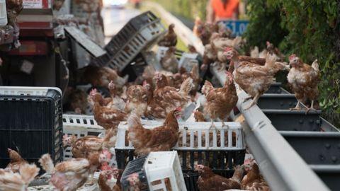 Csirkék ezrei szabadultak el az osztrák autópályán – videó