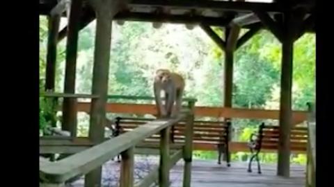 Menekülnie kellett a családnak a dühös majomcsapat elől – videó