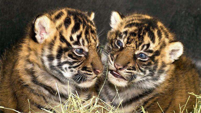 Hetes ikreket szült egy szibériai tigris – videó