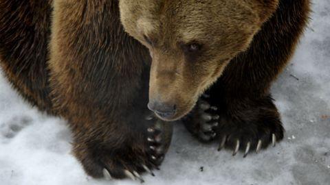 Kilövik Székelyföldön a támadókedvű medvéket