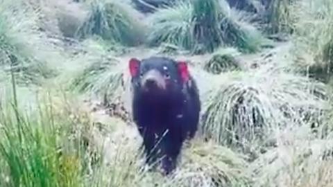 A hóesést csodáló cuki tasmán ördöggel nem fogsz tudni betelni – videó