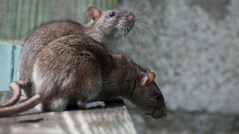 Patkányok özönlötték el a pétfürdői játszóteret