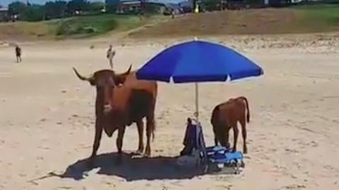 A tengerparton keresett árnyékot a tehén és a boci – videó
