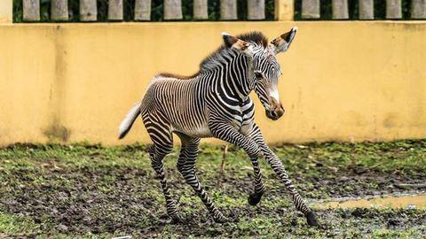 Játékos zebracsikó született Nyíregyházán – fotók