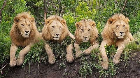 Négy oroszlán szökött meg egy nemzeti parkból