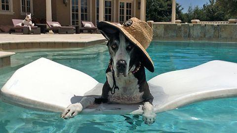 Így lazítanak a medencében a hatalmas dán dogok