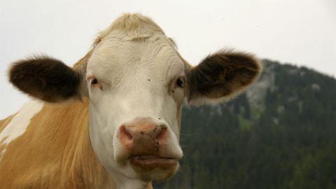 Tehéncsorda támadt turistákra egy ausztriai legelőn