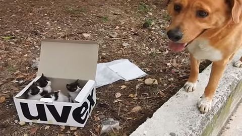 Kiscicákkal teli dobozra bukkant a hős kutya