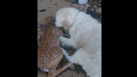 Egymásnak estek a netezők a fuldokló őzet mentő kutya videóján