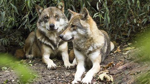 Egyetlen farkaspopulációból alakulhattak ki a mai kutyafajták