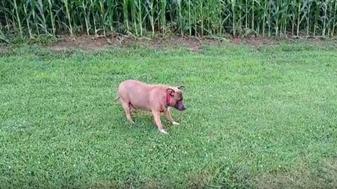 Megtalálta a belsejében rejlő lovat a cuki kutya – videó