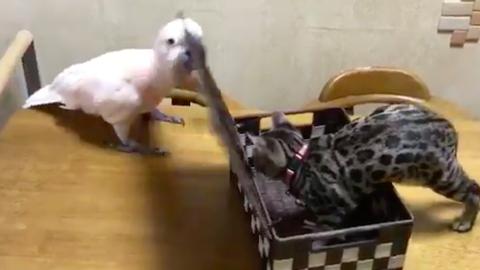 Ez a papagáj megmutatta a kiscicának, ki az úr a háznál – vicces videó