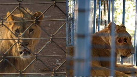 Kimentették az aleppói állatkert elhagyott állatait