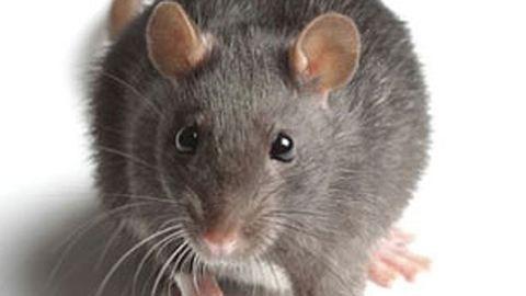 Mindenáron meg akarja mutatni kölykét a büszke patkánymama