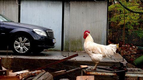 Abszurd farm: tündéri állatfotók a tanyáról