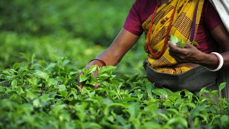 Tealevelet szedő nő Indiában (fotó: Tumblr)