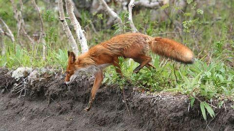 Róka sétálgat a Lánchídnál