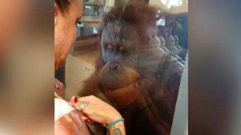 Megható videó: így aggódik beteg látogatója miatt az állatkerti orangután