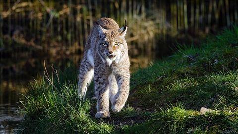 Nemzetközi összefogással mentenék meg Európa egyik veszélyeztetett állatát