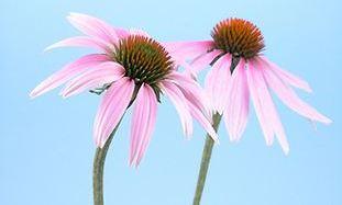 Tuti immunerõsítõ: Echinacea