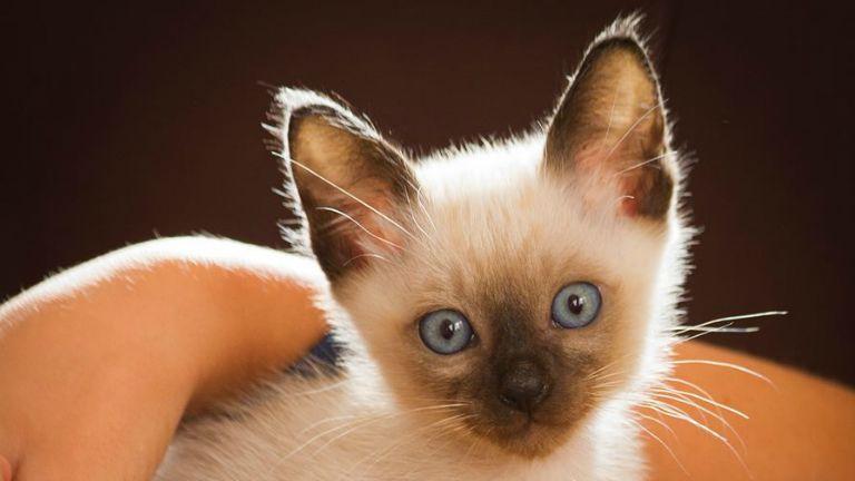 macska, cica, thai cica