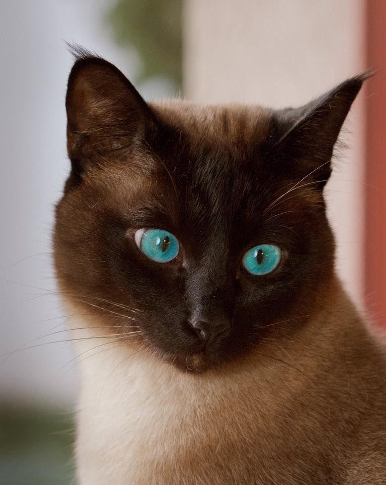 macska, cica, Marcipán