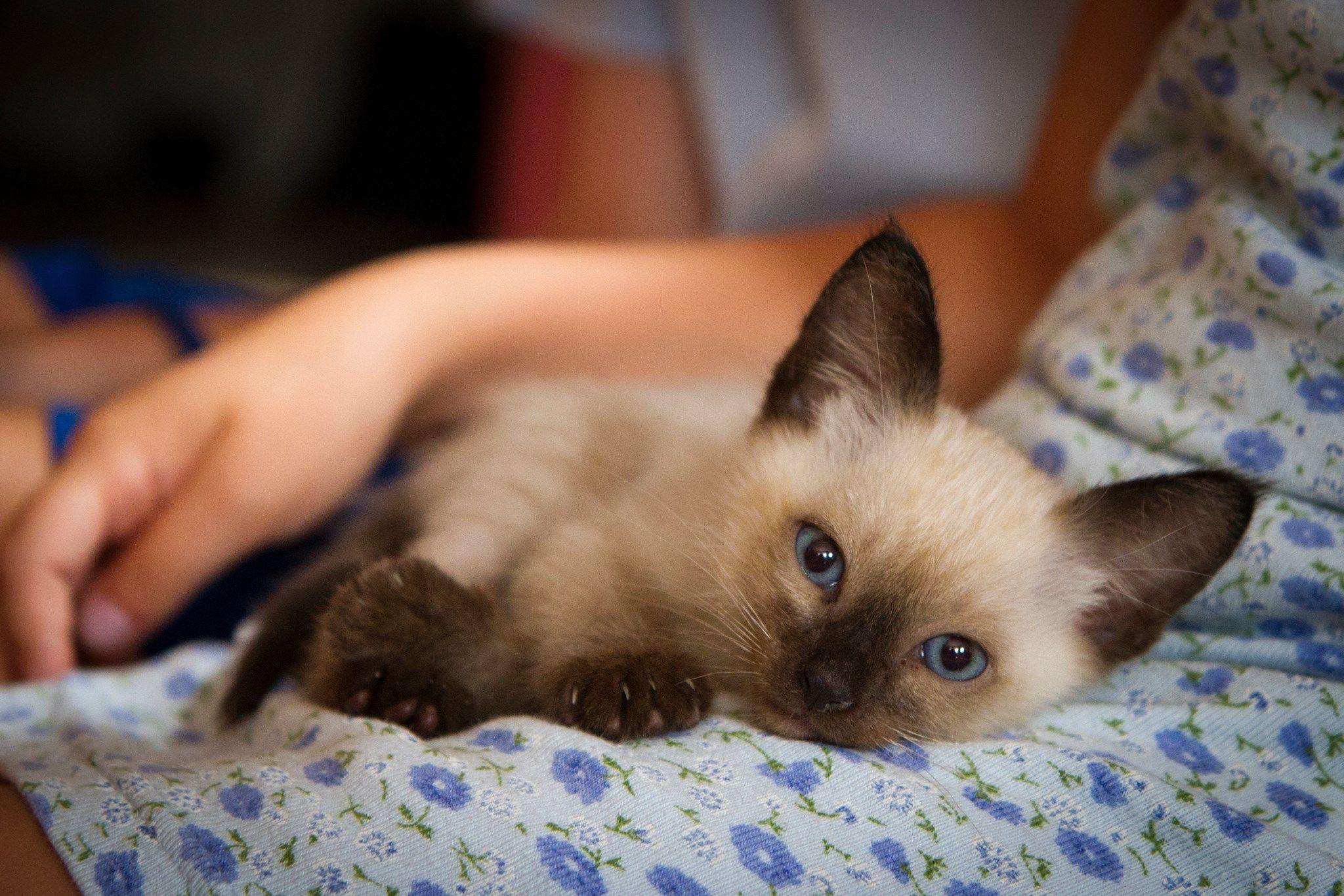 macska, cica, thai macska, Marcipán