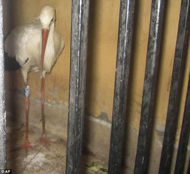 Kiengedték a magyar gólyát az egyiptomi fogságból