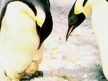 Igy menetel összebújva rengeteg császárpingvin