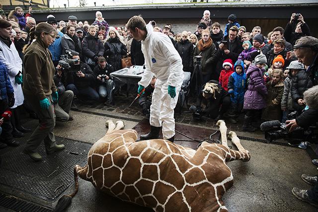 Hogyan végezhetnek ki egy egészséges zsiráfot?