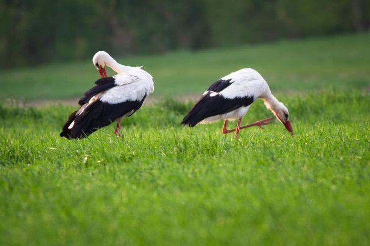 A klímaváltozás miatt egyre több gólya telelhet itthon