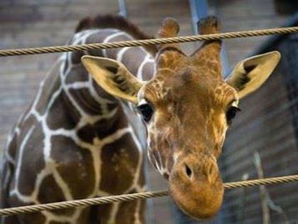 Marius, a kivégzett zsiráf