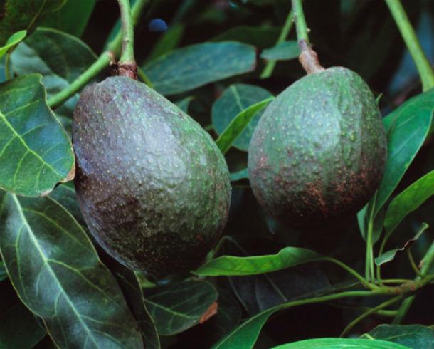 Lépj túl a határokon – nevelj egzotikus gyümölcsöket