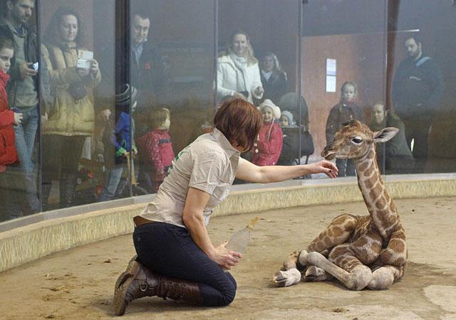 Forrás: veszpzoo.hu Még sok-sok fotót találsz a kis zsiráfról és Katalinról a Veszprémi Állatkert Facebook-oldalán