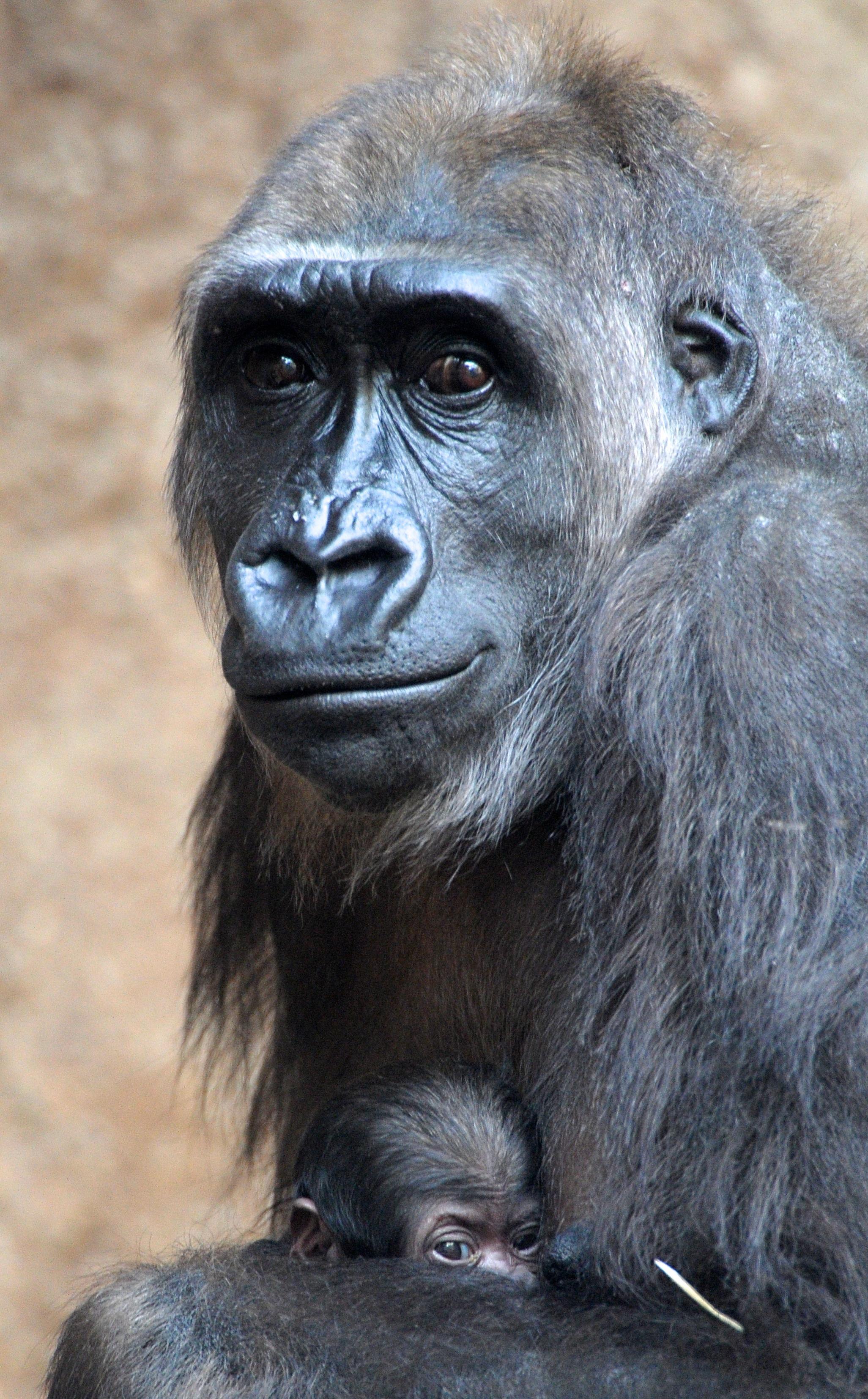 Így öleli kicsinyét a gorillamama