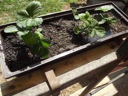 Kertészkurzus kezdőknek: eper a balkonládában